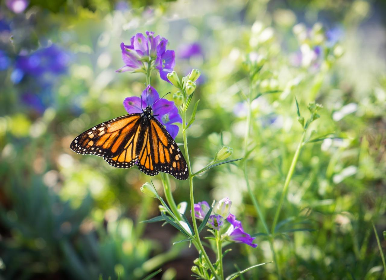 papillon monarque sur fleur violette